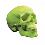 3B Scientific A20/N, Dark Skull Model in Glow