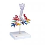 3B Scientific G23, CT Bronchial Tree Model with Larynx