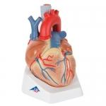 3B Scientific VD253, 7-Part Heart