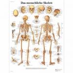 3B Scientific VR0113L, Laminated Human Skeleton Chart, German