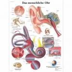 3B Scientific VR0243L, Laminated Human Ear Chart, German