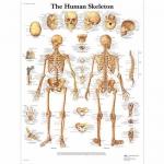 3B Scientific VR1113L, Laminated Human Skeleton Chart, English