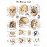 3B Scientific VR1131L, Laminated Human Skull Chart, English