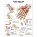 3B Scientific VR1171L, Laminated Anatomy, Hand & Wrist Chart, English