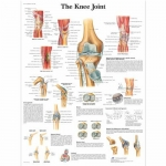 3B Scientific VR1174L, Laminated Knee Joint Chart, English