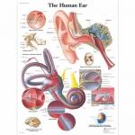 3B Scientific VR1243L, Laminated Human Ear Chart, English