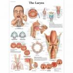 3B Scientific VR1248L, Laminated Larynx Chart, English