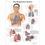 3B Scientific VR1322L, Laminated Respiratory System Chart, English