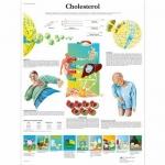 3B Scientific VR1452L, Laminated Cholesterol Chart, English
