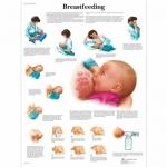 3B Scientific VR1557L, Laminated Breastfeeding Chart, English