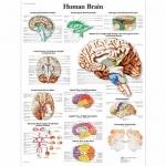 3B Scientific VR1615L, Laminated Human Brain Chart, English