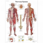 3B Scientific VR1620L, Laminated Nervous System Chart, English