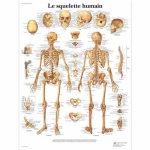 3B Scientific VR2113L, Laminated Human Skeleton Chart, French