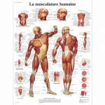 3B Scientific VR2118L, Laminated Human Muscle Chart, French