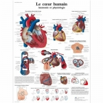 3B Scientific VR2334L, Laminated Anatomy Human Heart Chart, French