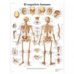 3B Scientific VR3113L, Laminated Human Skeleton Chart, Spanish
