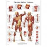 3B Scientific VR3118L, Laminated Human Muscle Chart, Spanish
