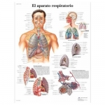 3B Scientific VR3322L, Laminated Respiratory System Chart, Spanish