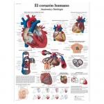 3B Scientific VR3334L, Laminated Anatomy Human Heart Chart, Spanish