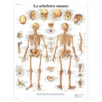 3B Scientific VR4113L, Laminated Human Skeleton Chart, Italian