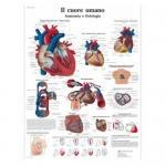 3B Scientific VR4334L, Laminated Anatomy Human Heart Chart, Italian