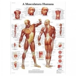 3B Scientific VR5118L, Laminated Human Muscle Chart, Portuguese