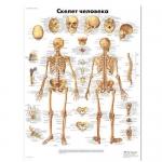 3B Scientific VR6113L, Laminated Human Skeleton Chart, Russian