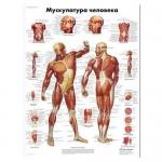 3B Scientific VR6118L, Laminated Human Muscle Chart, Russian