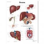 3B Scientific VR6425L, Laminated Liver Chart, Russian