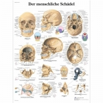 """3B Scientific VR0131L, Chart """"Der Menschliche Schadel"""" German, Lam"""