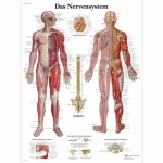 "3B Scientific VR0620L, Chart ""Das Nervensystem"" German, Laminated"